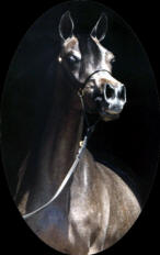 Galaxy Arabians Stallion, Focus Prince Ali